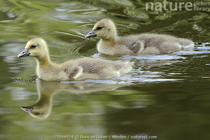 Greylag Goose (Anser anser) goslings, Kassel, Hessen, Germany  ,  Anser anser, Baby, Chick, Color Image, Day, Full Length, Germany, Gosling, Greylag Goose, Hessen, Horizontal, Kassel, Nobody, Outdoors, Photography, Sibling, Side View, Swimming, Two Animals, Waterfowl, Wildlife,Greylag Goose,Germany  ,  Duncan Usher