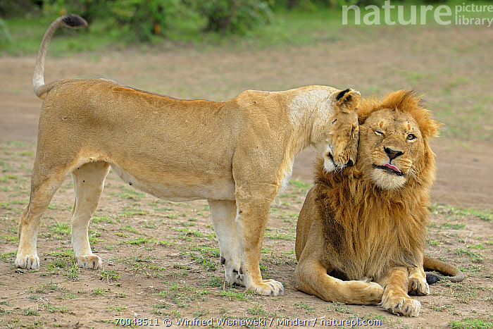African Lion (Panthera leo) female nuzzling a male, Masai Mara, Kenya  ,  Adult, Affection, African Lion, Color Image, Day, Female, Front View, Full Length, Greeting, Horizontal, Humor, Interacting, Kenya, Masai Mara, Nobody, Nuzzling, Outdoors, Panthera leo, Photography, Side View, Tenderness, Threatened Species, Togetherness, Two Animals, Vulnerable Species, Wildlife,African Lion,Kenya  ,  Winfried Wisniewski