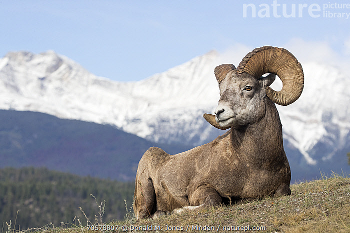Bighorn Sheep (Ovis canadensis) ram, western Canada  ,  Adult, Bighorn Sheep, Canada, Color Image, Day, Full Length, Horizontal, Male, Nobody, One Animal, Outdoors, Ovis canadensis, Photography, Ram, Side View, Wildlife  ,  Donald M. Jones / Minden