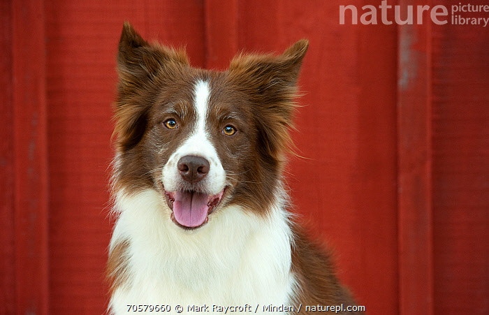 Border Collie (Canis familiaris), North America  ,  Adult, Border Collie, Canis familiaris, Color Image, Day, Domestic Dog, Front View, Head and Shoulders, Horizontal, Looking at Camera, Nobody, North America, One Animal, Outdoors, Panting, Photography, Portrait  ,  Mark Raycroft / Minden
