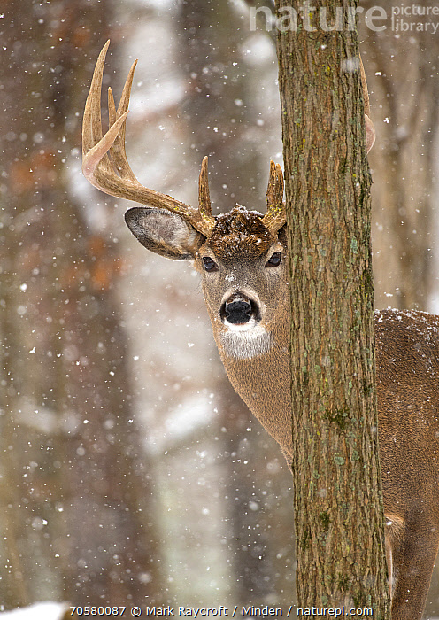 White-tailed Deer (Odocoileus virginianus) buck in snowfall, North America  ,  Adult, Buck, Color Image, Day, Head and Shoulders, Looking at Camera, Male, Nobody, North America, Odocoileus virginianus, One Animal, Outdoors, Peeking, Photography, Portrait, Side View, Snowfall, Vertical, White-tailed Deer, Wildlife, Winter  ,  Mark Raycroft / Minden