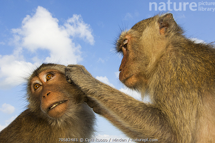 Long-tailed Macaque (Macaca fascicularis) pair grooming, Khao Sam Roi Yot National Park, Thailand  ,  Adult, Bonding, Color Image, Day, Grooming, Head and Shoulders, Horizontal, Khao Sam Roi Yot National Park, Long-tailed Macaque, Low Angle View, Macaca fascicularis, Nobody, Outdoors, Photography, Side View, Thailand, Two Animals, Wide-angle Lens, Wildlife  ,  Cyril Ruoso / Minden