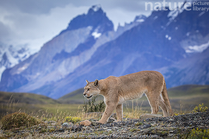 Mountain Lion (Puma concolor) and mountains, Cordillera Paine, Torres del Paine National Park, Chile  ,  Adult, Animal in Habitat, Chile, Color Image, Cordillera Paine, Day, Full Length, Horizontal, Mountain, Mountain Range, Mountain Lion, Nobody, One Animal, Outdoors, Peak, Photography, Puma concolor, Side View, Torres Del Paine National Park, Wildlife  ,  Benjamin Olson / Minden