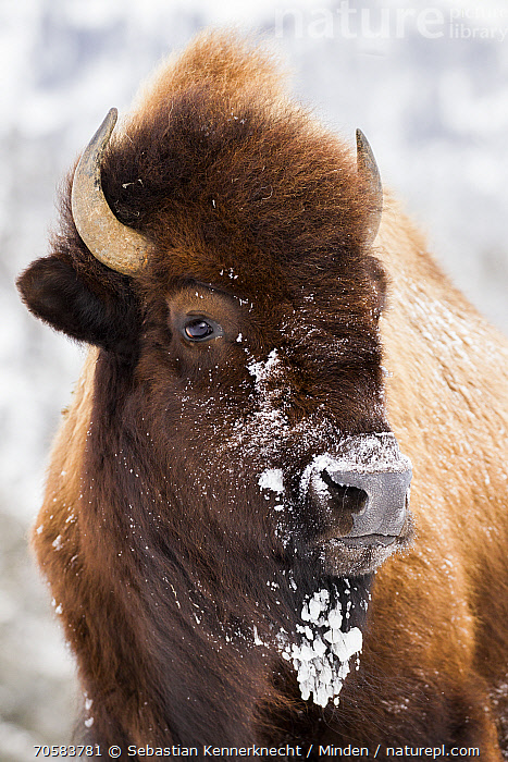 American Bison (Bison bison) female in winter, Yellowstone National Park, Wyoming  ,  Adult, American Bison, Animal, Bison sp, Bison bison, Bison, Bovid, Bovidae, Color Image, Day, Female, Head and Shoulders, Mammal, National Park, Nobody, North America, One Animal, Outdoors, Photography, Portrait, Profile, Side View, Snow, U.S. National Park, United States of America, Ungulate, USA, Vertical, Wildlife, Winter, Wyoming, Yellowstone National Park  ,  Sebastian Kennerknecht / Minden