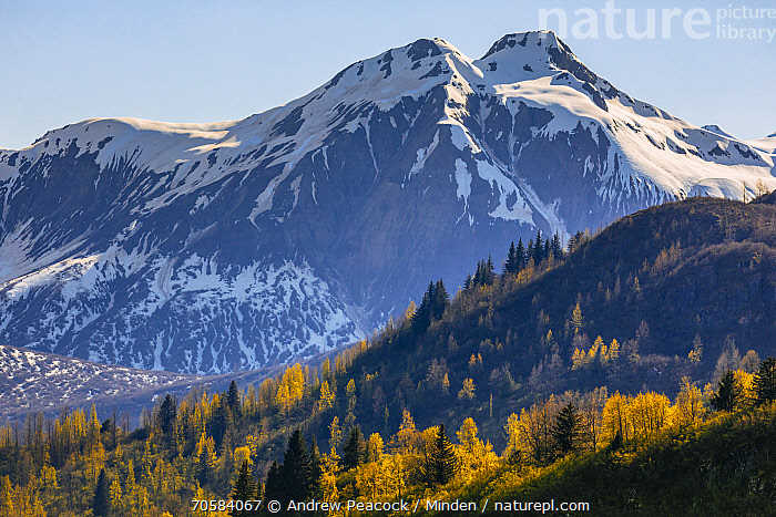 Taiga and snow-covered mountains in autumn, Glacier Bay National Park, Alaska  ,  Alaska, Autumn, Blue Sky, Color Image, Day, Fall Colors, Glacier Bay National Park, Horizontal, Landscape, Mountain, Mountain Range, Nobody, Outdoors, Peak, Photography, Snow-covered, Taiga, Tranquility, Yellow  ,  Andrew Peacock / Minden