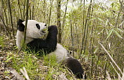 Giant Panda (Ailuropoda melanoleuca), Xiang Xiang the first captive raised panda to be released into the wild, in pre release enclosure eating bamboo, Wolong Nature Reserve, endangered, China  -  Katherine Feng