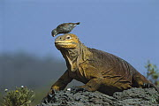 Galapagos Land Iguana (Conolophus subcristatus) with a Small Ground-Finch (Geospiza fuliginosa) on its head removing parasites, Galapagos Islands, Ecuador  -  D. Parer & E. Parer-Cook