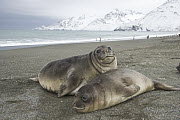Southern Elephant Seal (Mirounga leonina) pups, fat and docile weaners stay together for company and reassurance, St. Andrews Bay, South Georgia Island