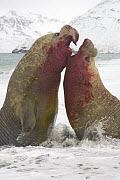 Southern Elephant Seal (Mirounga leonina) bulls fighting for access to females, St. Andrews Bay, South Georgia Island