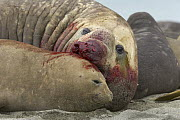 Southern Elephant Seal (Mirounga leonina) bull mating with female after a successful fight, St. Andrews Bay, South Georgia Island