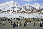 King Penguin (Aptenodytes patagonicus) group with snowy Allardyce Range and glacier in background, St. Andrews Bay, South Georgia Island