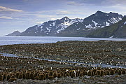 King Penguin (Aptenodytes patagonicus) colony with many one year old chicks, St. Andrews Bay, South Georgia Island