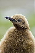 King Penguin (Aptenodytes patagonicus) chick, St Andrew's Bay, South Georgia Island