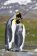 King Penguin (Aptenodytes patagonicus) pair courting, St Andrew's Bay, South Georgia Island