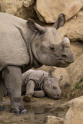 Indian Rhinoceros (Rhinoceros unicornis) mother and calf, native to Asia  -  ZSSD