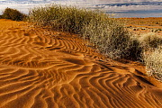 Spinifex Grass (Spinifex sp) on sand dune with footprints, Simpson Desert, Northern Territory, Australia  -  Colin Monteath/ Hedgehog House