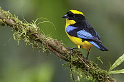 Blue-winged Mountain-Tanager (Anisognathus somptuosus), Andes, Colombia  -  Glenn Bartley/ BIA