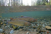 Bull Trout (Salvelinus confluentus) pair, Metolius River, eastern Oregon  -  Richard Herrmann