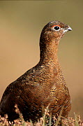Red grouse, Glen Esk, Scotland - Brian Lightfoot