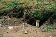 Stoat (Mustela erminea) stalking rabbit,  Scotland - Brian Lightfoot