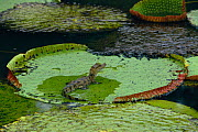 Spectacled caiman juvenile on giant lily pad {Caiman crocodilus}, Iwokrama Reserve, Guyana South America  -  Pete Oxford