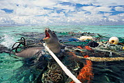 Hawaiian monk seal caught in fishing tackle off Kure Atoll, Pacific Ocean. The seal was subsequently freed and released by the photographer. - Michael Pitts
