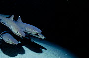 Whitetip reef shark pack hunting at night {Triaenodon obesus} Cocos Is, Costa Rica, Pacific Ocean  -  Jeff Rotman