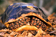 Red footed tortoise withdrawn inside its shell {Geochelone carbonaria}, Iwokrama Reserve, Guyana  -  Pete Oxford