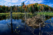 American beaver lodge in lake {Castor canadensis} Michigan, USA - Thomas Lazar
