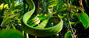 Vine snakes (Dryophis nasuta) imitate curled tendrils of foliage to conceal themselves in the rainforest (Resolution restriction - image digitised from film, 'Weird Nature' tv series)  -  Stephen Downer / John Downer P