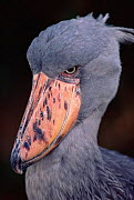Whale headed stork / Shoebill head portrait  {Balaeniceps rex} Occurs Central Africa - Pete Oxford