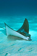 Spotted eagle ray {Aetobatus narinari} searches for food buried in sand. Red Sea