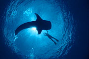 Whale shark and person swimming in silhouette {Rhinicodon typus} Indo Pacific  -  Jurgen Freund