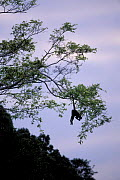 Long haired / White bellied spider monkey hanging in tree by tail {Ateles belzebuth} Manu NP,  -  Pete Oxford
