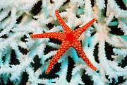Necklace starfish {Fromia monilis} on coral. Sulawesi, Indonesia  -  Georgette Douwma