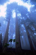 Coast Giant redwood trees {Sequoia sempervirens} in the fog, Del Norte State Park, California, USA. Tallest trees in the world.  -  Michael Hutchinson
