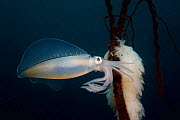 Big fin reef squid {Sepioteuthis lessoniana} with egg mass, Lembeh Strait, North Sulawesi, Indonesia.