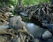 Tangled exposed roots of Montezuma cypress trees {Taxodium mucronatum} lining the banks of River Cuchujaqui Sabinos, Sierra Madre foothills, Mexico - Jack Dykinga
