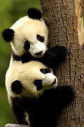 Juvenile Giant Pandas (Ailuropoda melanoleuca) climbing a tree trunk, Wolong China Conservation and Research Centre for the Giant Panda within Wolong Reserve, Sichuan Province, China 2006  -  Pete Oxford