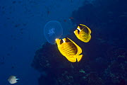Red Sea racoon / Striped butterflyfish (Chaetodon fasciatus) feeding on a jellyfish. Red Sea, Egypt. - Georgette Douwma