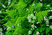 RF- Wild garlic / Ramsons (Allium ursinum) and fern, Coombe Valley, Cornwall, UK. May. (This image may be licensed either as rights managed or royalty free.)  -  Ross Hoddinott