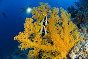 Two Masked bannerfish {Heniochus monoceros} beside Giant yellow soft coral with diver in background, Indo-pacific  -  Jurgen Freund
