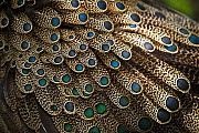 Close up of feathers of Male Malayan peacock pheasant (Polyplectron malacense) from primary lowland rainforest areas of Malaysia, Vulnerable species. Captive, Jurong Bird Park, Singapore..  -  Nick Garbutt