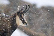 Chamois (Rupicapra rupicapra) in snowy weather, Gran Paradiso National Park, Italy, October 2008 - Wild Wonders of Europe / E Haarberg