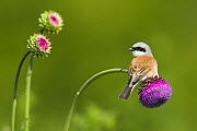 Red-backed Shrike male (Lanius collurio) male perched on Musk thistle (Carduus nutans) Bulgaria, May 2008 UNAVAILABLE FOR COMMERCIAL USE WITHOUT PRIOR CONSENT - Wild Wonders of Europe / Nill