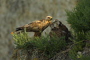 Long-legged buzzard (Buteo rufinus) at nest, with young, Bulgaria, May 2008 - Wild Wonders of Europe / Nill