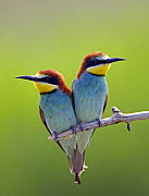 European Bee-eater (Merops apiaster) pair perched, Pusztaszer, Hungary, May 2008 - Wild Wonders of Europe / Varesvuo