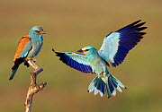 European Roller (Coracias garrulus) courtship display, Pusztaszer, Hungary, May 2008. WWE BOOK. WWE INDOOR EXHIBITION. Magic Moments book plate. - Wild Wonders of Europe / Varesvuo