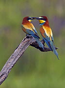 European Bee-eater (Merops apiaster) pair, male passing Dragonfly prey to female, Pusztaszer, Hungary, May 2008 - Wild Wonders of Europe / Varesvuo