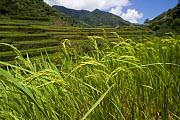 Ears of rice (Oryza sp) growing in rice paddy fields on the Banaue Rice Terraces, Philippines.  UNESCO World Heritage Site 2008 - Jurgen Freund